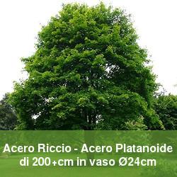 Acero riccio o acero platanoide a foglie caduche per il giardino.