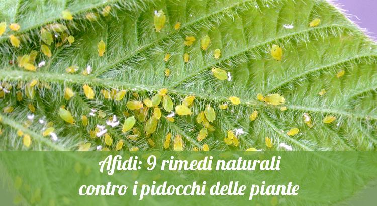 Rimedi naturali contro gli afidi delle piante e i pidocchi.