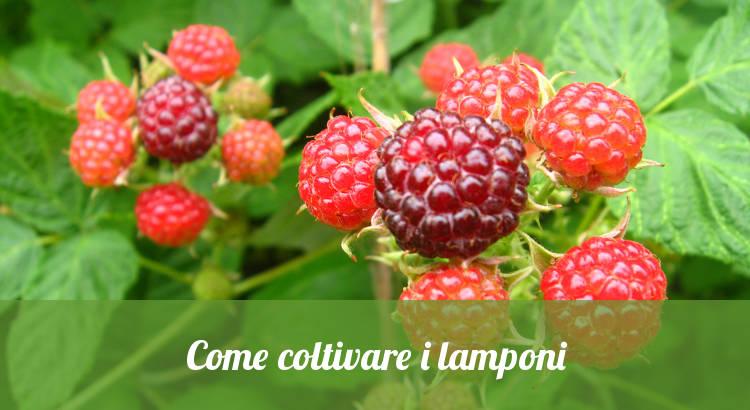 Come coltivare i lamponi.