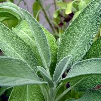 Salvia, intensa erba aromatica.