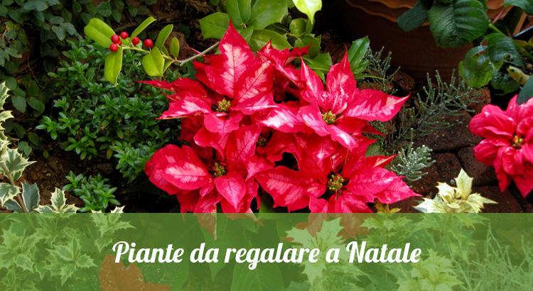 Le piante da regalare per Natale.