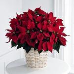Pianta di stella di Natale in vaso.