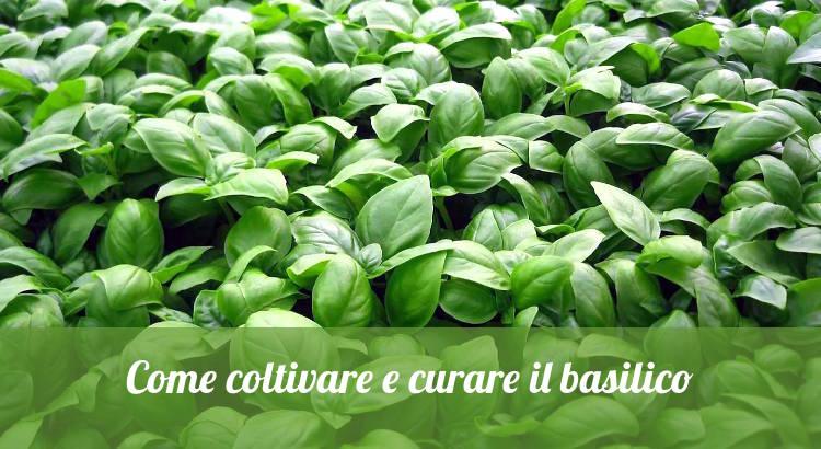 Coltivare il basilico e curare la pianta di basilico nell'orto.