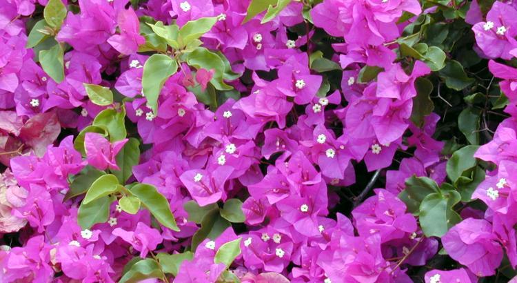 Pianta di bouganvillea fiorita.