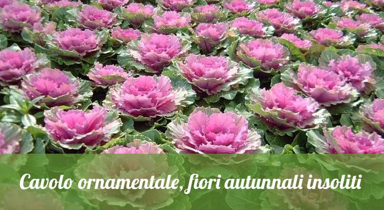 Fiori autunnali insoliti, il cavolo ornamentale.