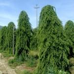albero sempreverde di conifera Cedro pendulo.
