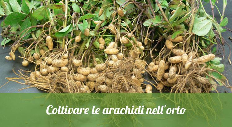 Coltivare pianta di arachidi.