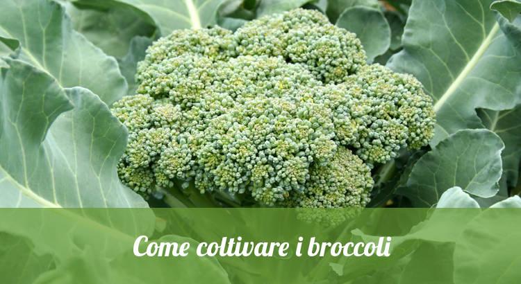 Come coltivare i broccoli nell'orto.