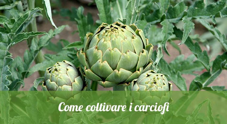 Come coltivare i carciofi nell'orto.