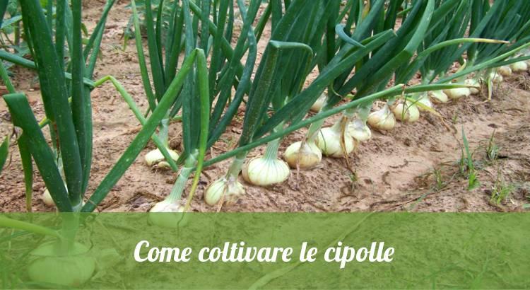 Coltivare le cipolle nell'orto.