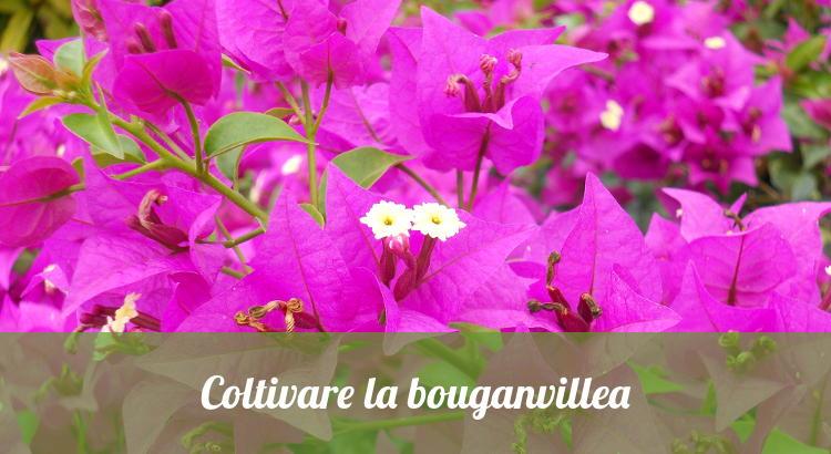 Come coltivare la bouganvillea, anche in vaso.