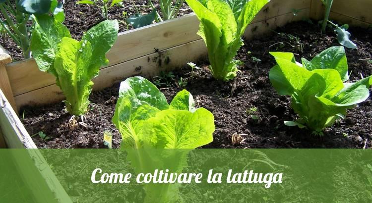 Come coltivare la lattuga nell'orto.