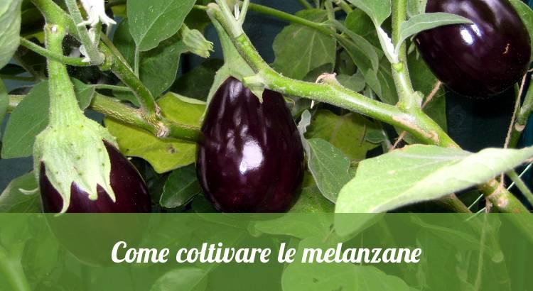 Come coltivare le melanzane nell'orto.