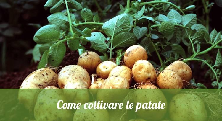 Come coltivare le patate.