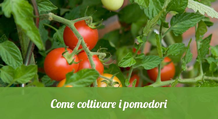 Coltivare piante di pomodori.