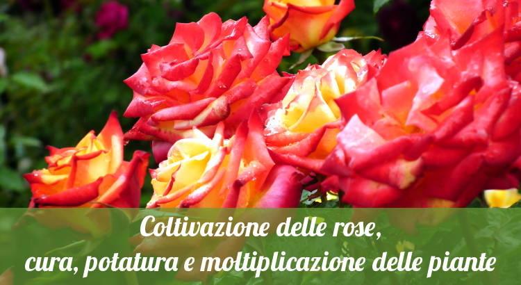Coltivare le rose.