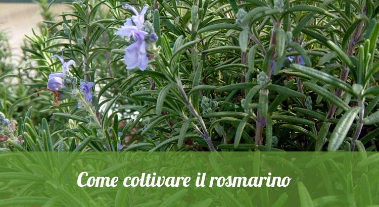 Come piantare e coltivare il rosmarino.