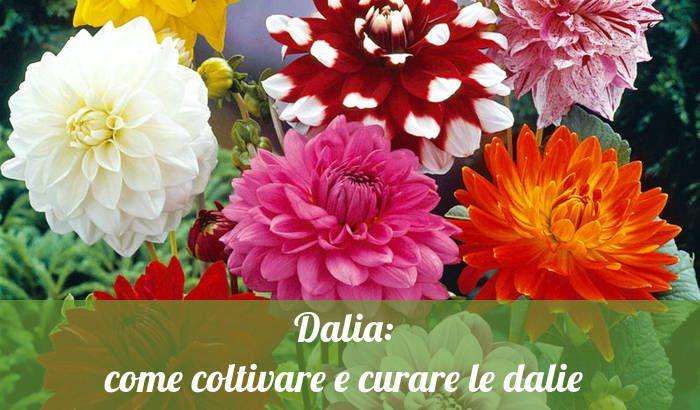 Dalie, coltivare e curare le piante di dalia.