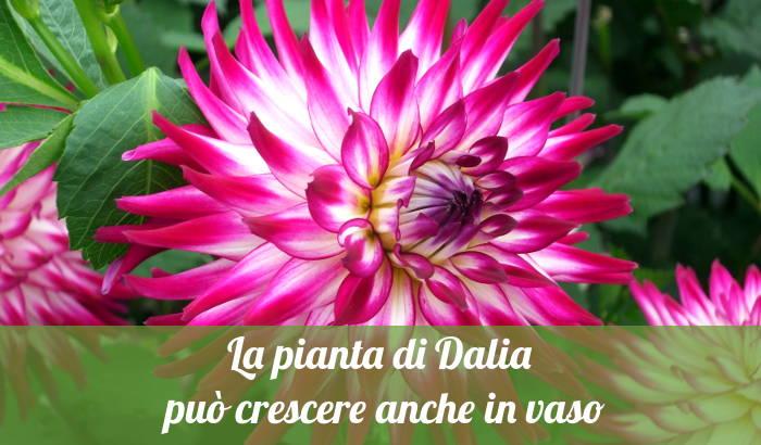 La pianta di Dalia può crescere anche in vaso.