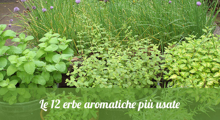 Le piante aromatiche più coltivate.