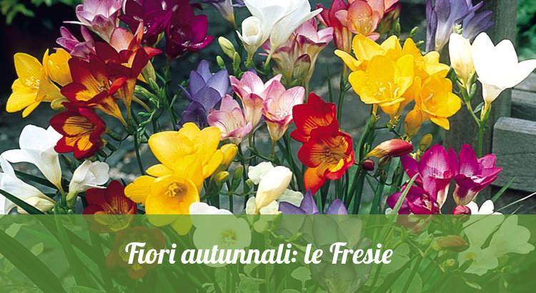 fiori autunnali, le Fresie.