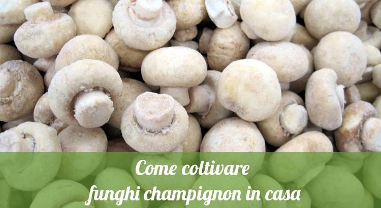 Coltivare i funghi champignon in casa è facile.
