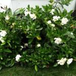 Gardenia a cespuglio.