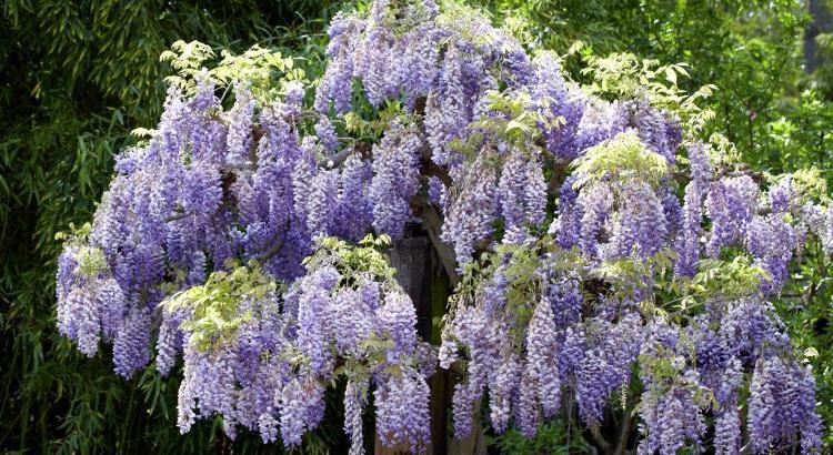 Un bellissima pianta di glicine in fiore.
