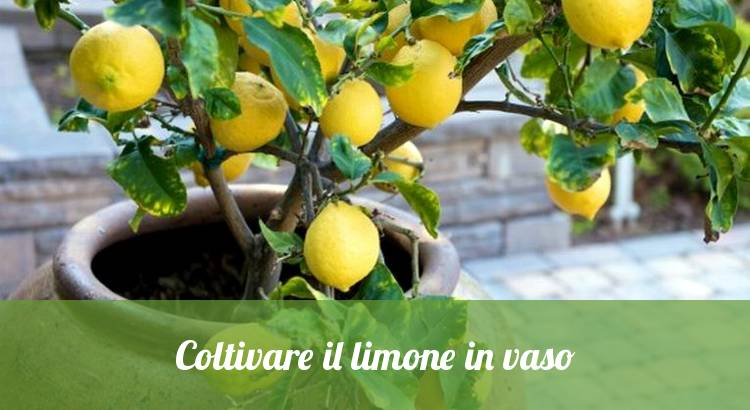 Come coltivare il limone in vaso in casa.