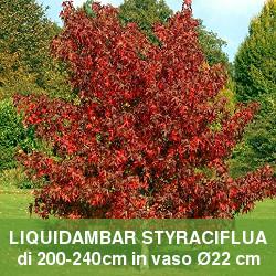 Liquidambar, albero a foglie caduche simile all'acero.