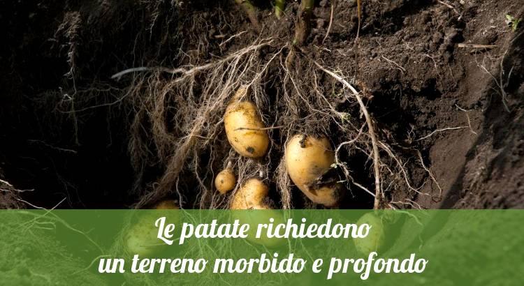 Coltivare patate nell'orto.