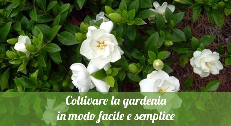 Coltivare la gardenia.
