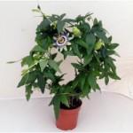 Pianta di passiflora.