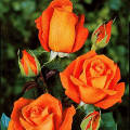 Pianta di rosa arancio.