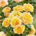 Pianta di rosa gialla da giardino.