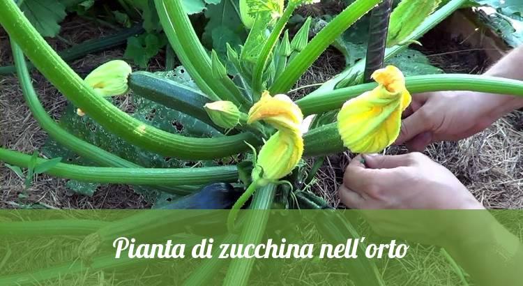 Pianta di zucchina con fiori coltivata in orto.