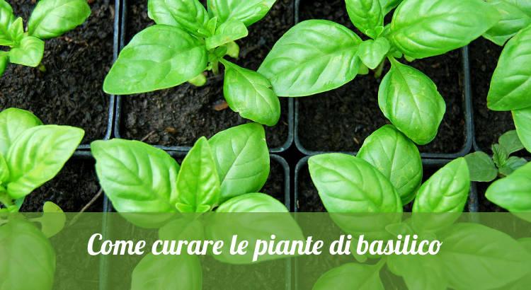 Come curare le piante di basilico, in casa e in orto.