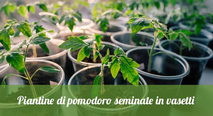 Piantine di pomodoro seminate in vasetti.