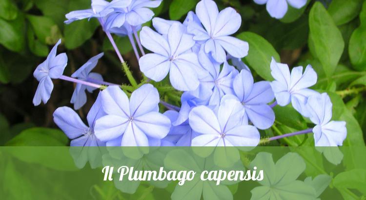 Plumbago capensis.