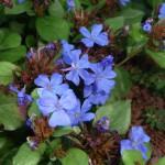 Plumbago a fiori blu.
