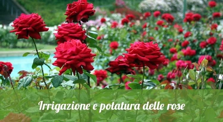 Potare le rose.