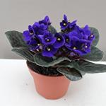 violetta africana in vaso.